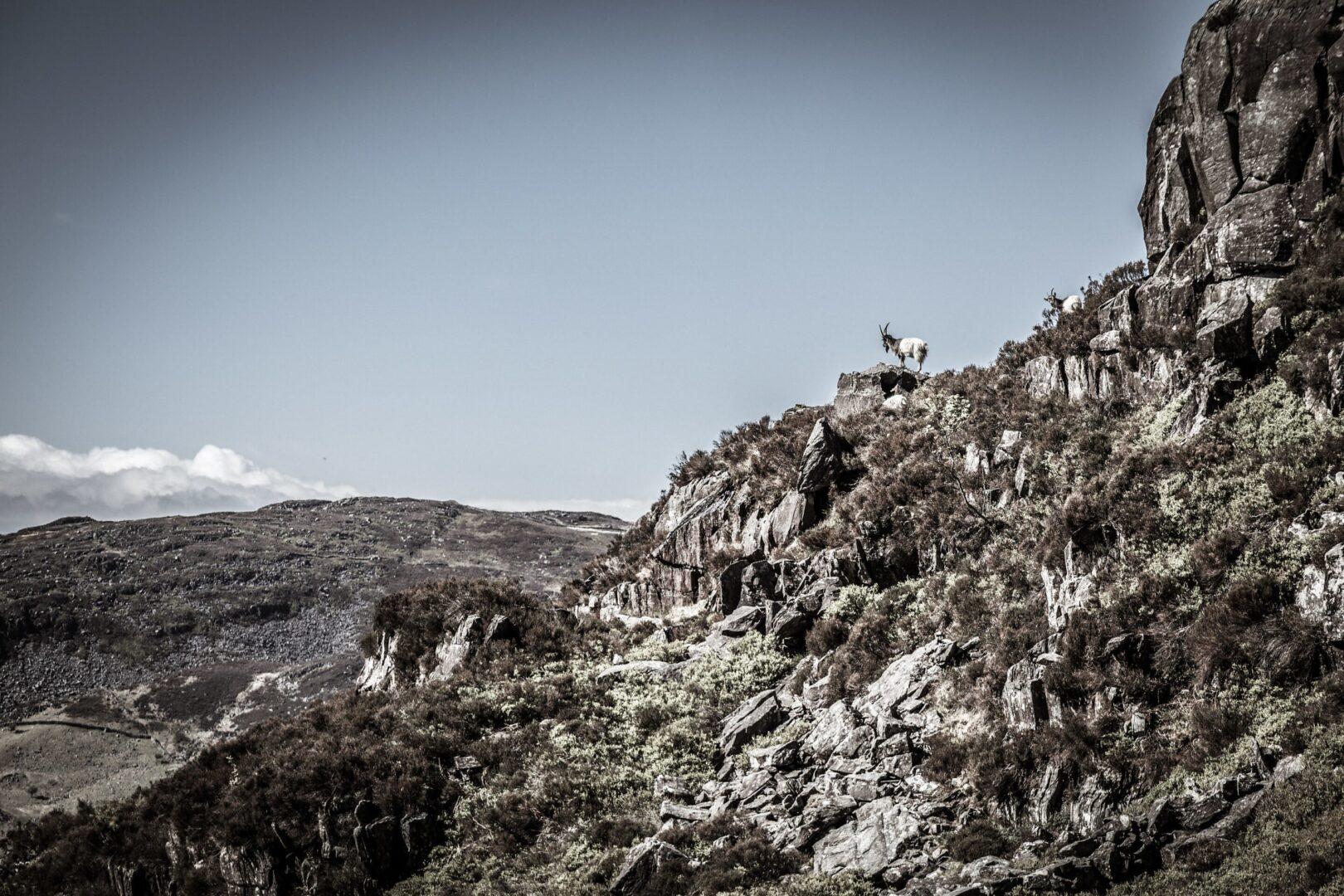 Welsh Mountain Goat